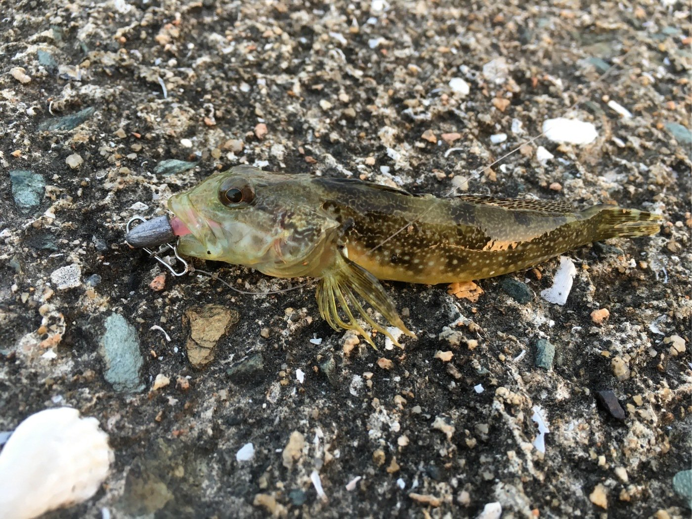 モリモリさんの投稿画像,写っている魚はアナハゼ