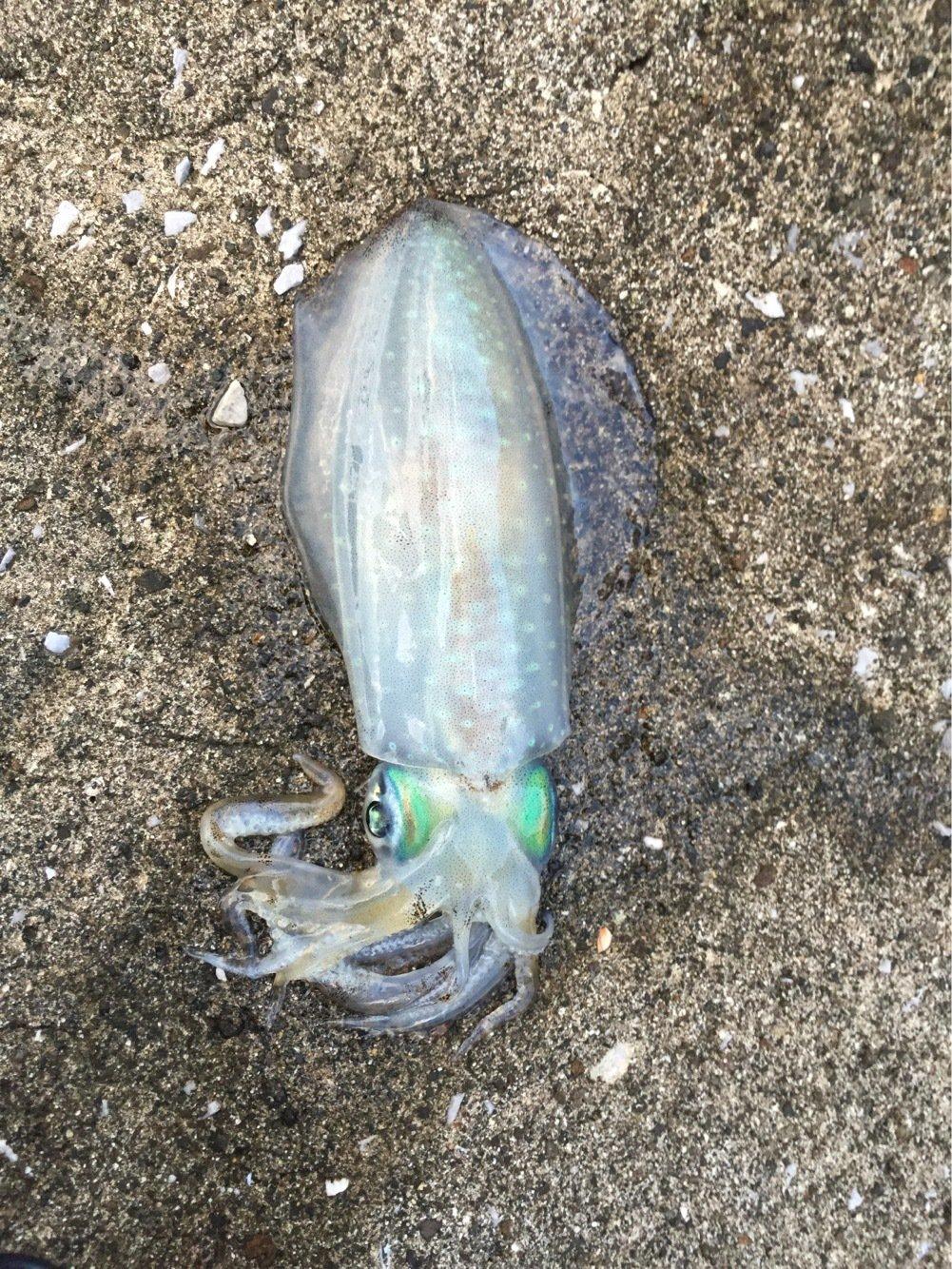 健さんの投稿画像,写っている魚はアオリイカ
