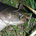 ボブさんの宮城県角田市での釣果写真