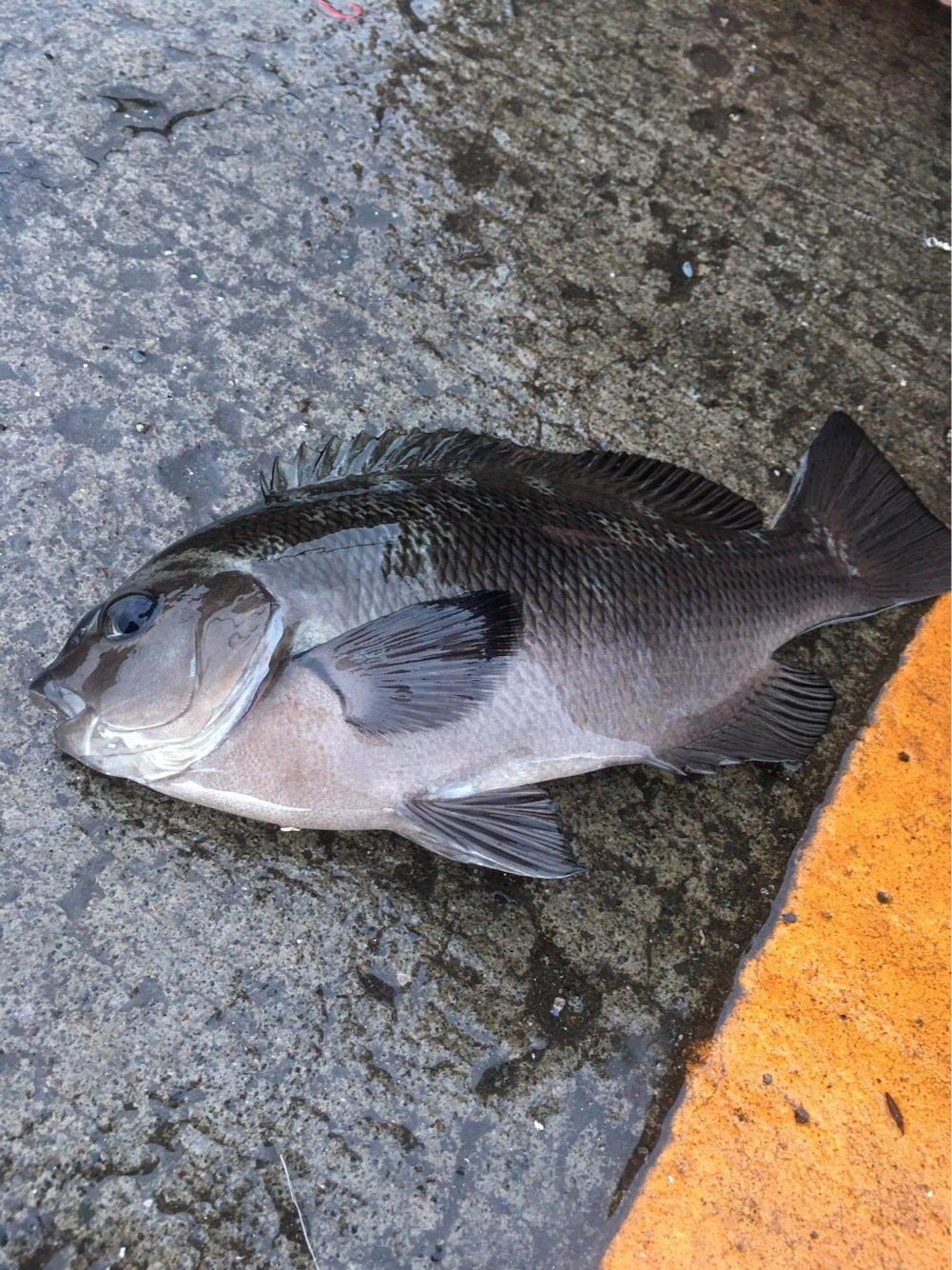 さくまさんの投稿画像,写っている魚はメジナ