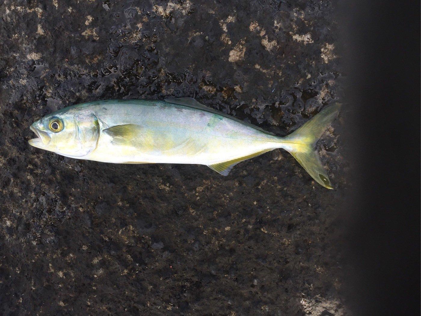 かずよさんの投稿画像,写っている魚はブリ