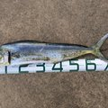 ボンカーゴさんの茨城県神栖市でのマサバの釣果写真