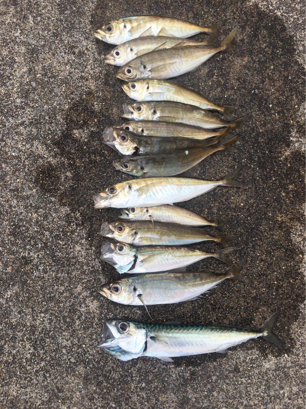 せいちゃん0403さんの投稿画像,写っている魚はアジ