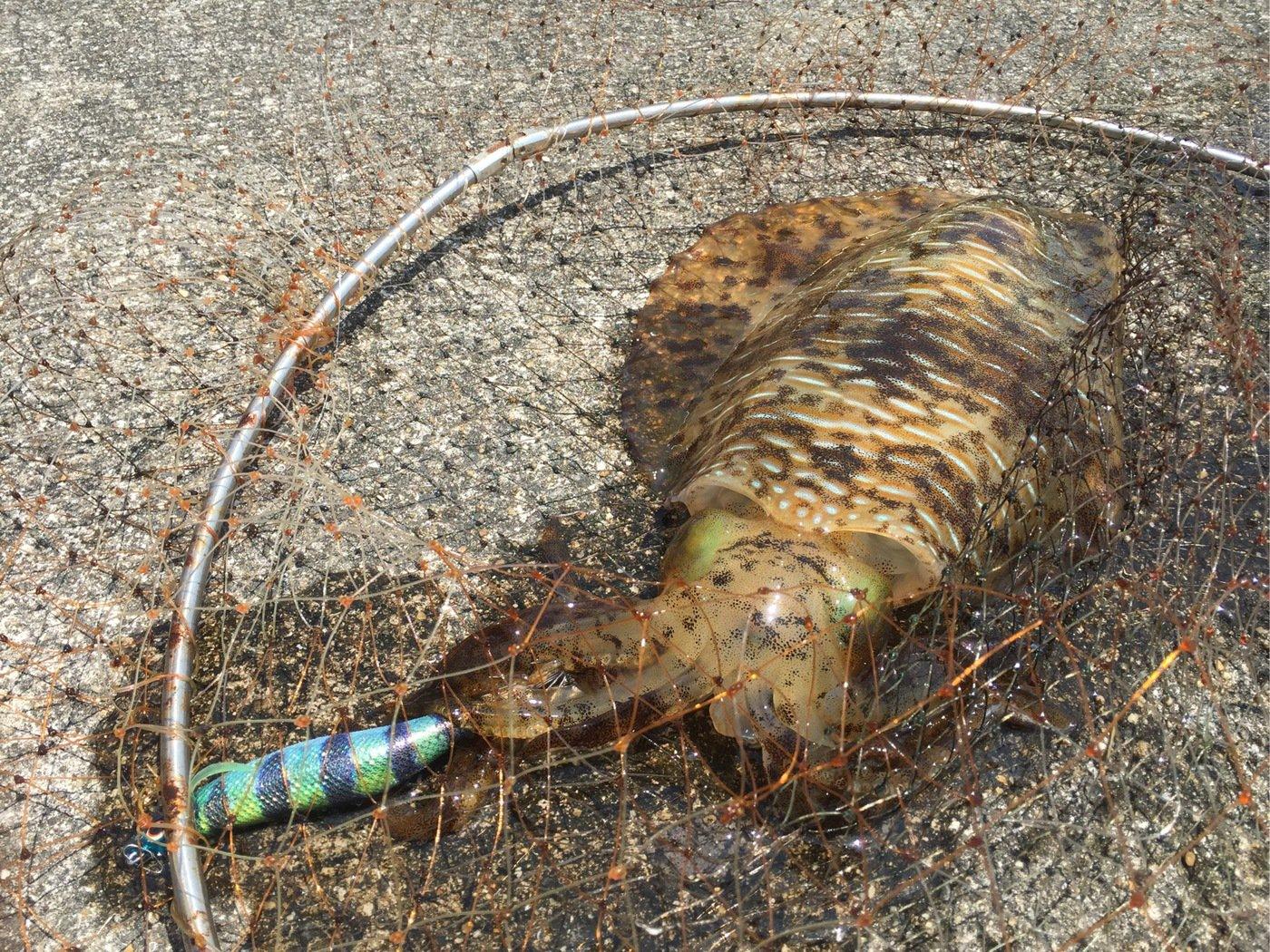 ヨシダさんの投稿画像,写っている魚はアオリイカ