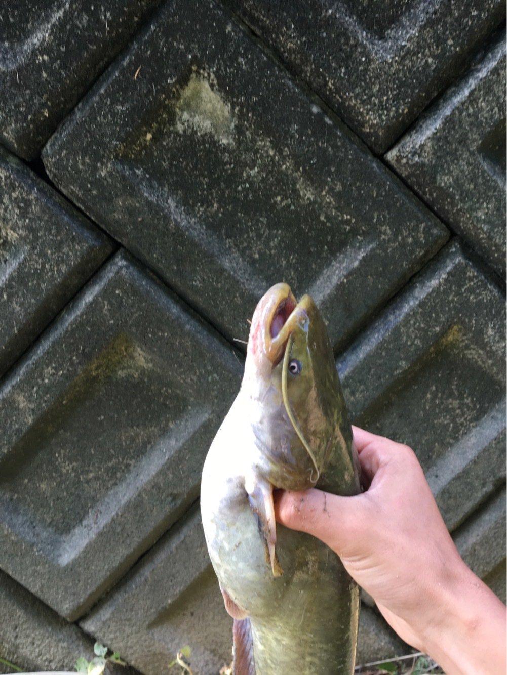 温基さんの投稿画像,写っている魚はナマズ