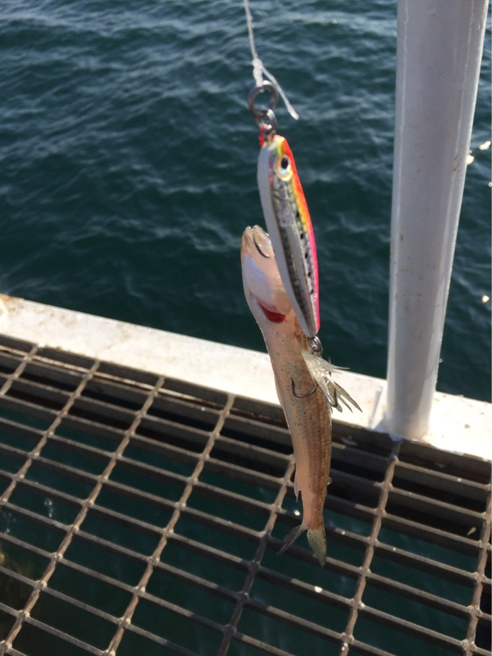 しーんさんの投稿画像,写っている魚はエソ