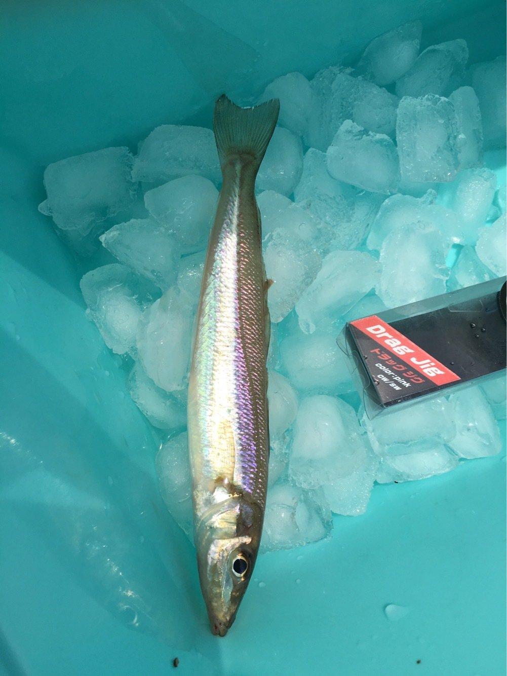 こーへーさんの投稿画像,写っている魚はシロギス