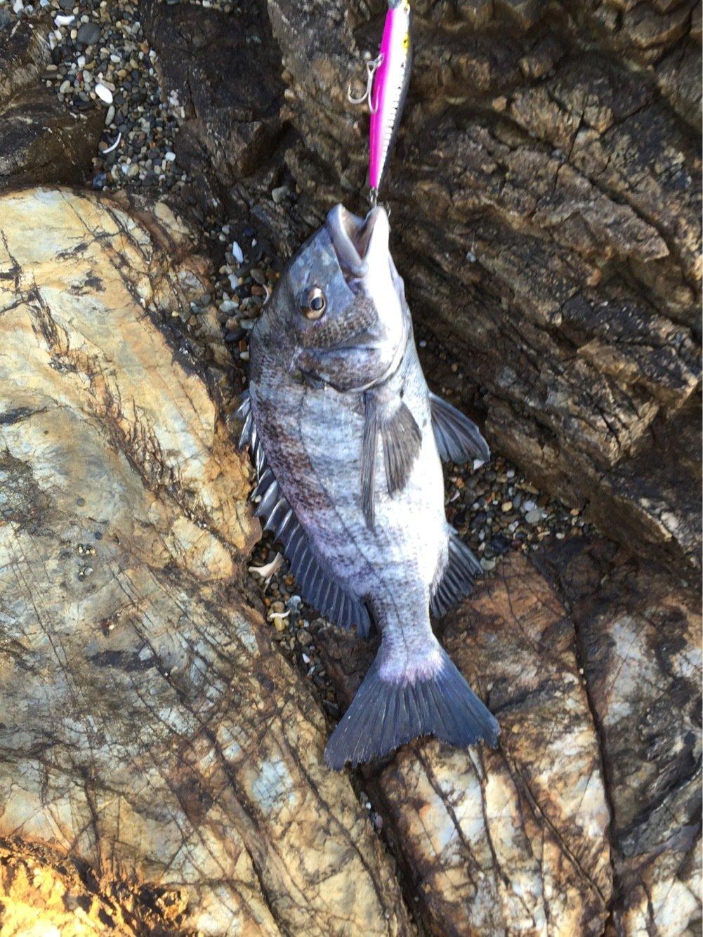 ぐ〜〜さんの投稿画像,写っている魚はクロダイ