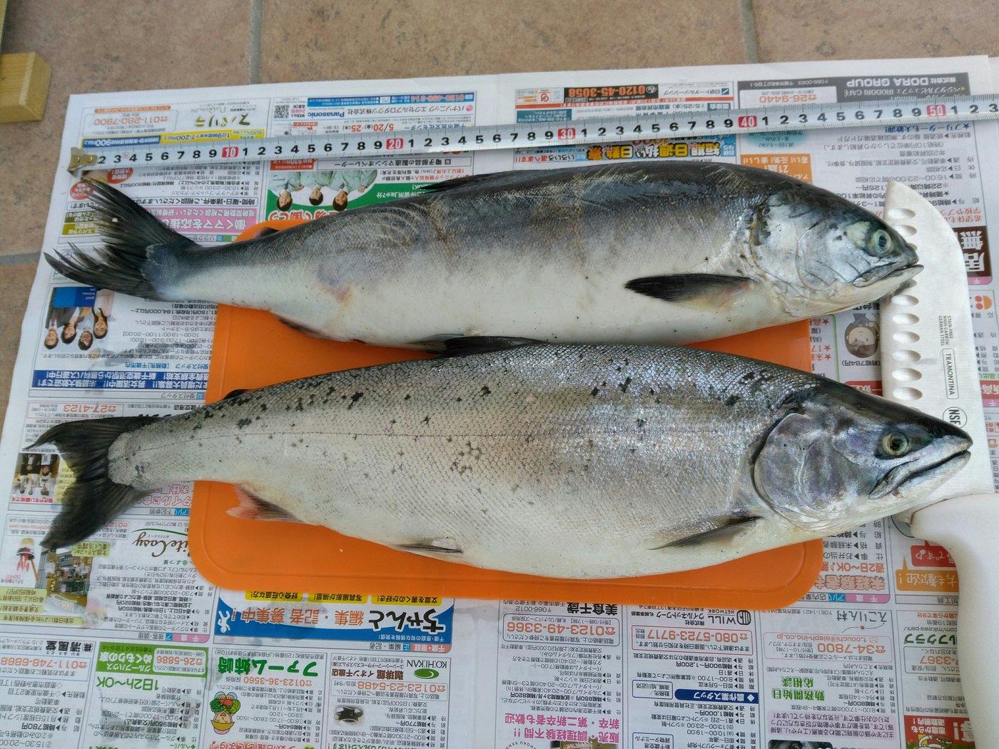 kazu snowyさんの投稿画像,写っている魚はサクラマス