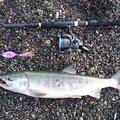 ピザまんさんの北海道登別市での釣果写真
