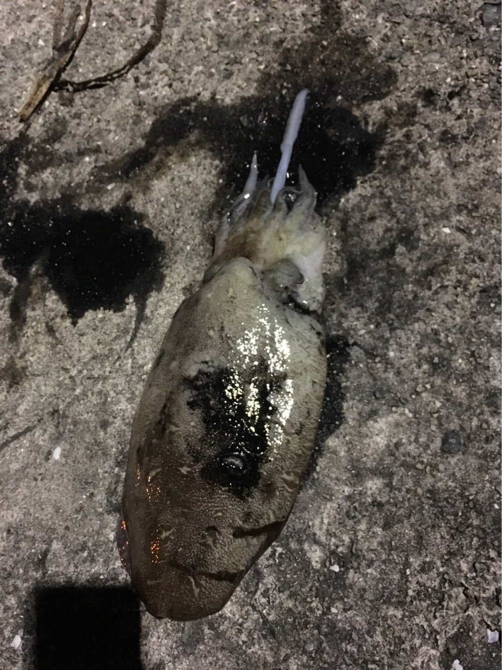 大五郎さんの投稿画像,写っている魚はヒョウモンコウイカ