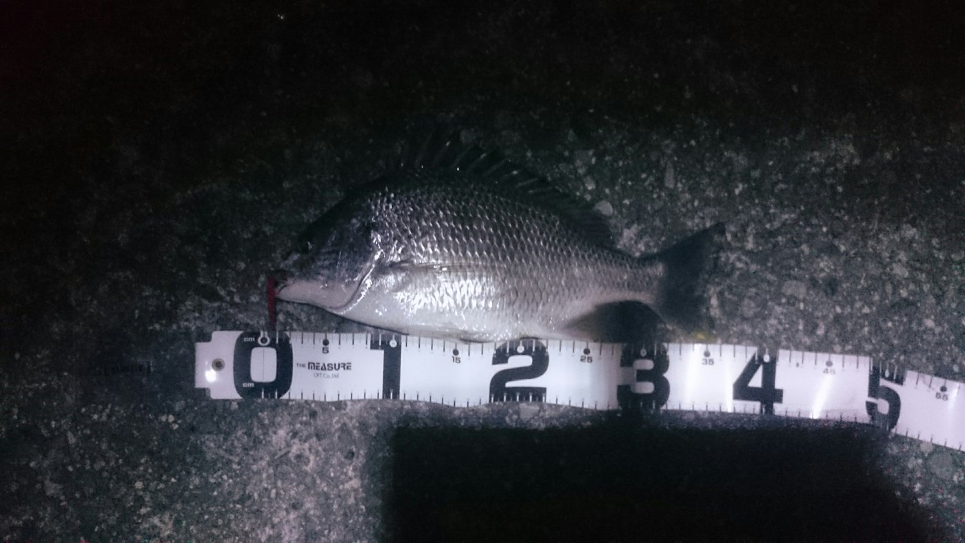 市場さんの投稿画像,写っている魚はキチヌ