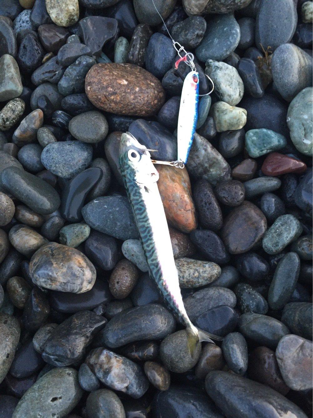 KOHALさんの投稿画像,写っている魚はマサバ