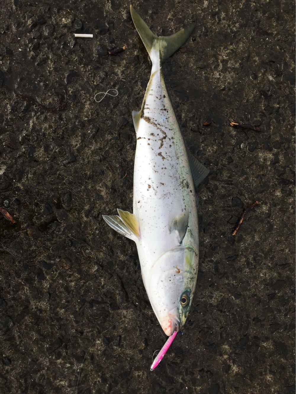 はげまるさんの投稿画像,写っている魚はワラサ