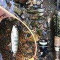 ハギさんの岩手県紫波郡での釣果写真