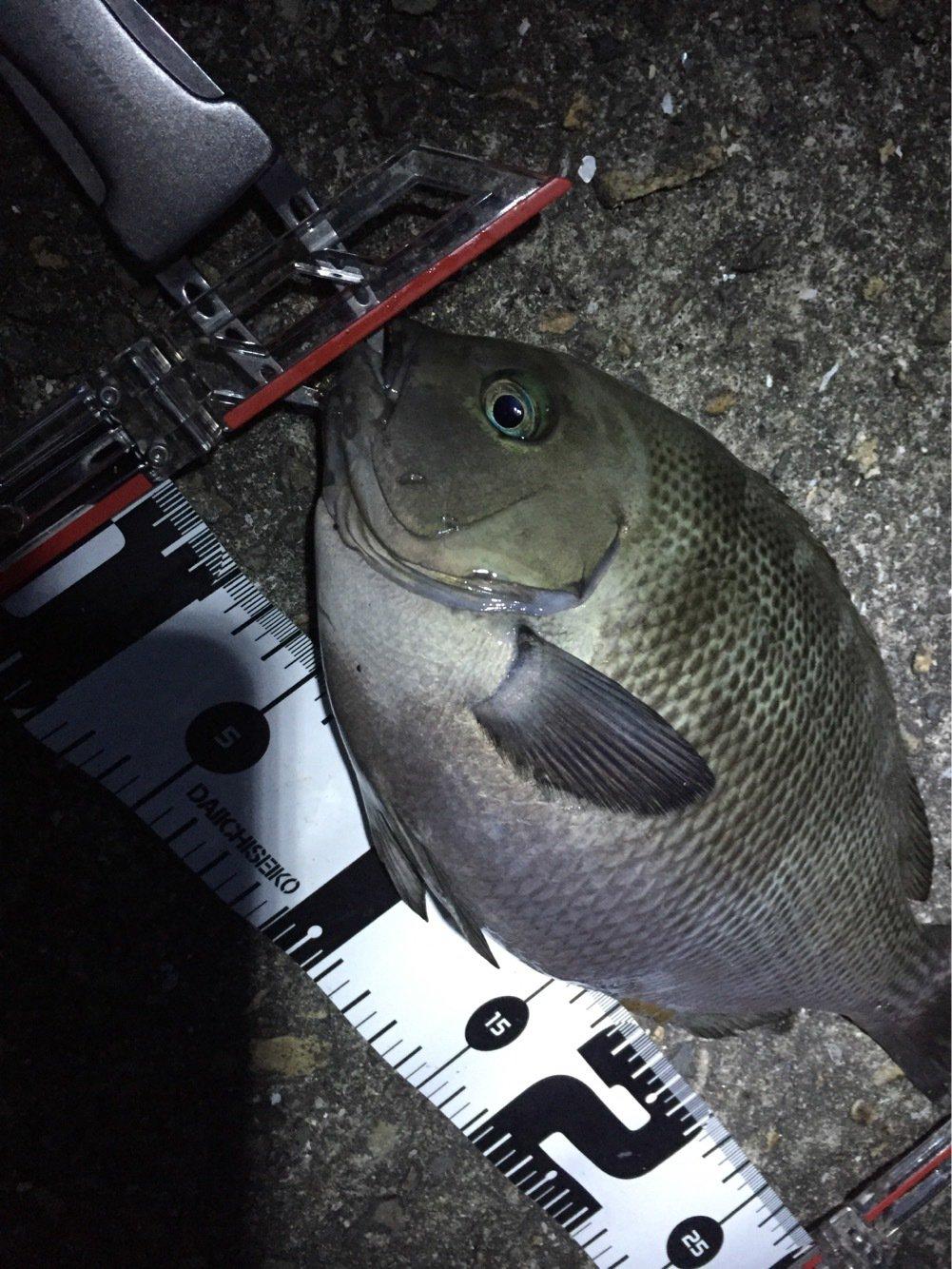 たくさんの投稿画像,写っている魚はメジナ