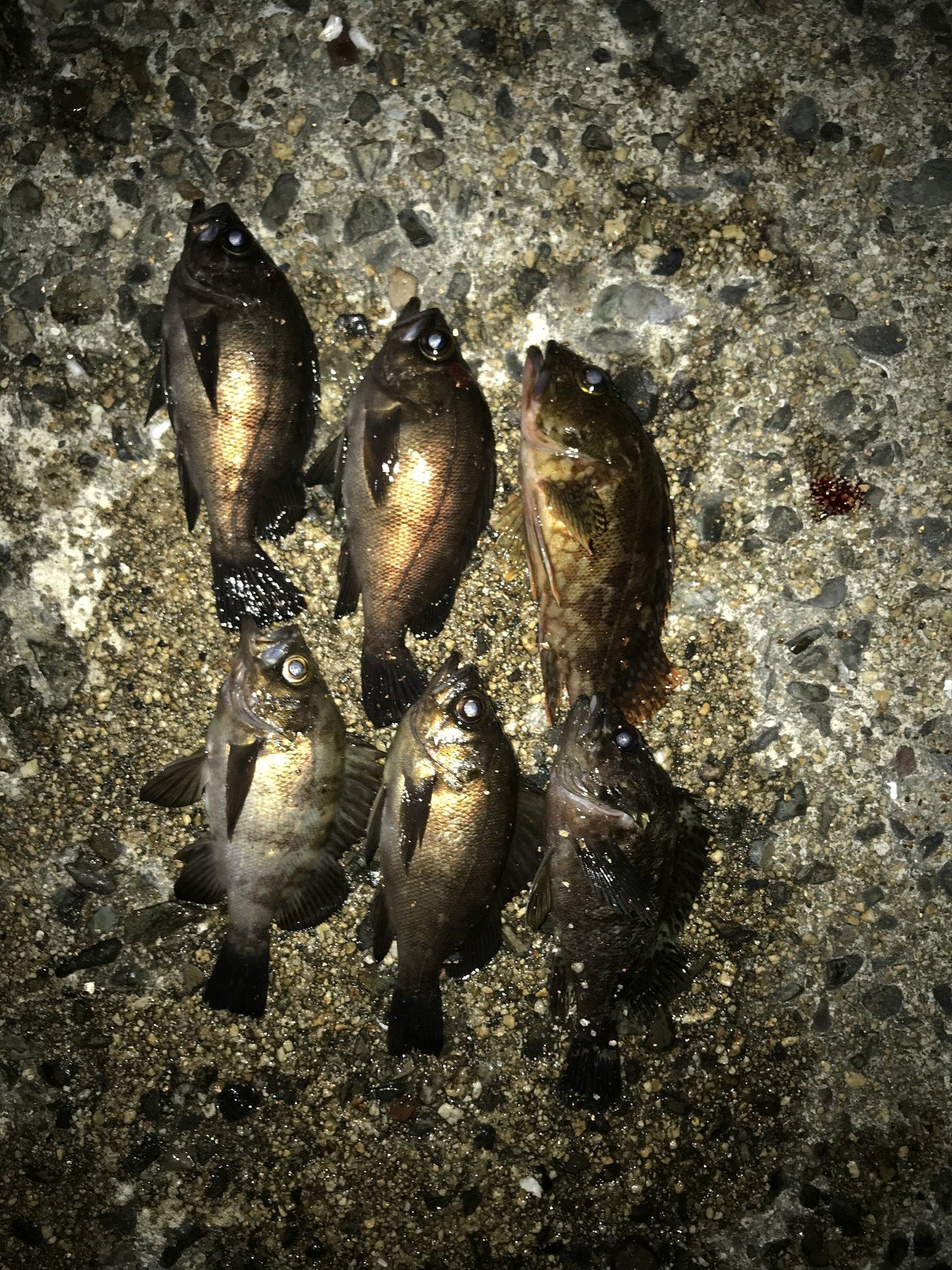 luckyさんの投稿画像,写っている魚はメバル
