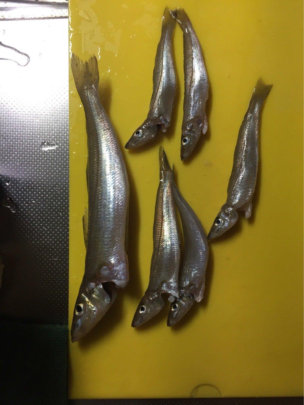 エスティマさんの投稿画像,写っている魚はシロギス