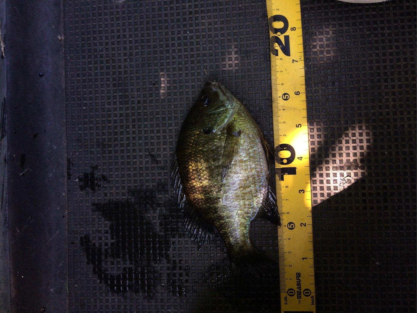 たかさんの投稿画像,写っている魚はブルーギル