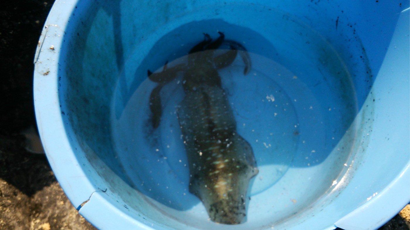 ただよしさんの投稿画像,写っている魚はアオリイカ