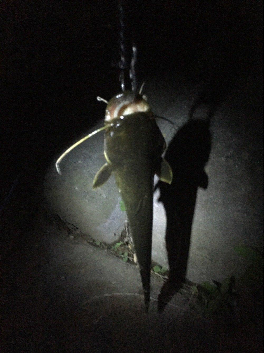おちんポジさんの投稿画像,写っている魚はナマズ