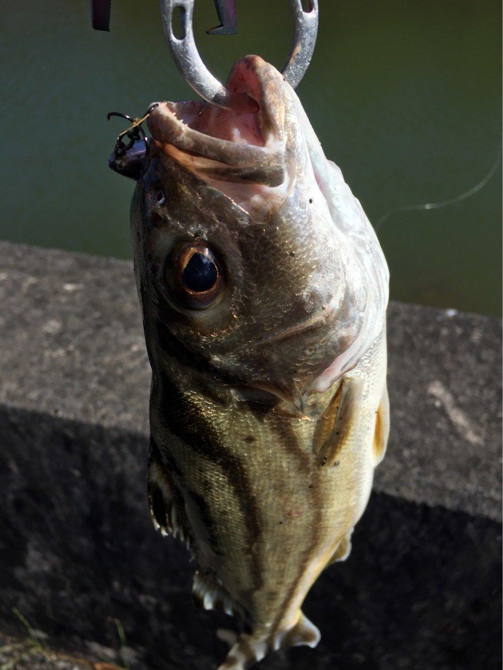 tamatamanさんの投稿画像,写っている魚はコトヒキ