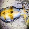 3ポンドさんの徳島県鳴門市でのアオリイカの釣果写真