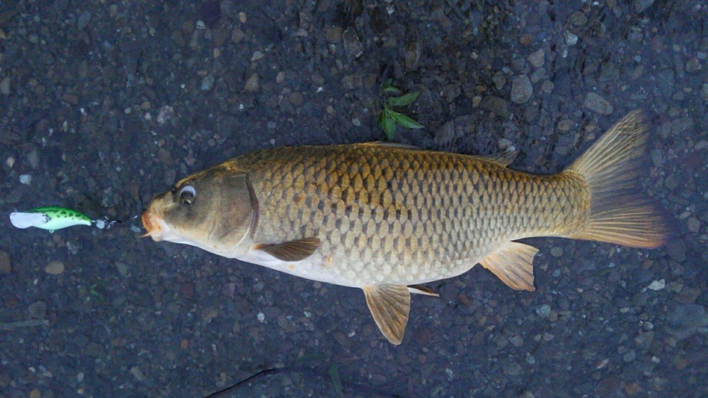 平野 健太さんの投稿画像,写っている魚はコイ