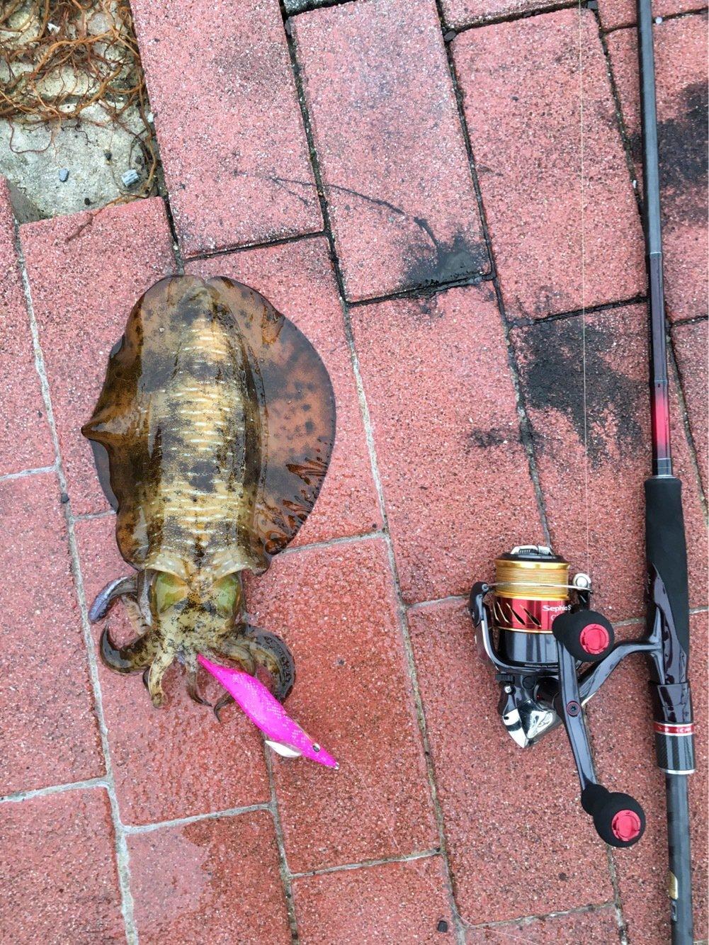 ヒカル 餌木團さんの投稿画像,写っている魚はアオリイカ
