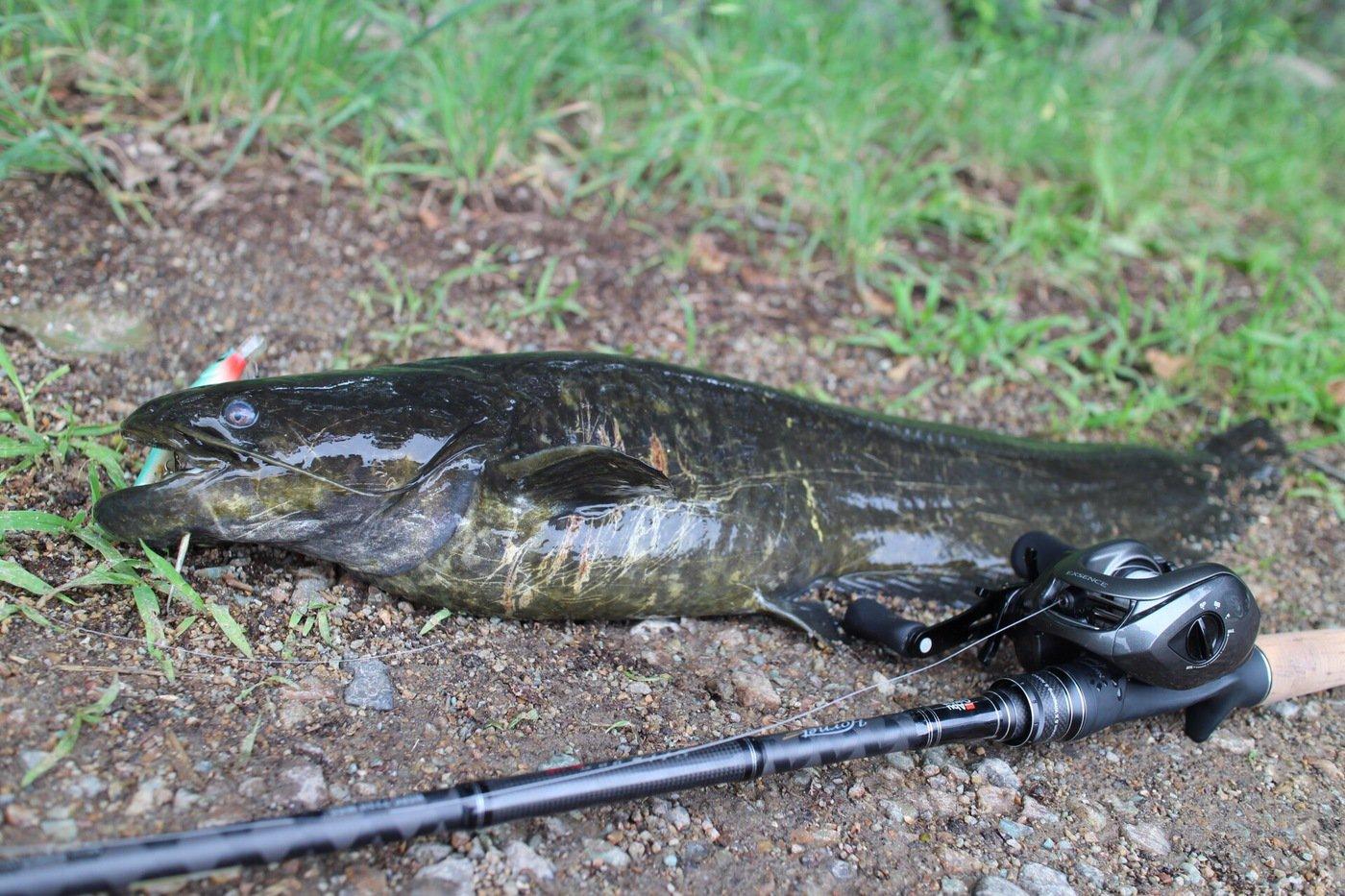 キャズキさんの投稿画像,写っている魚はナマズ