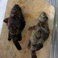 釣りバカしゅんさんの秋田県山本郡での釣果写真