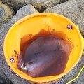 ゆうさんの福岡県福津市でのアオリイカの釣果写真