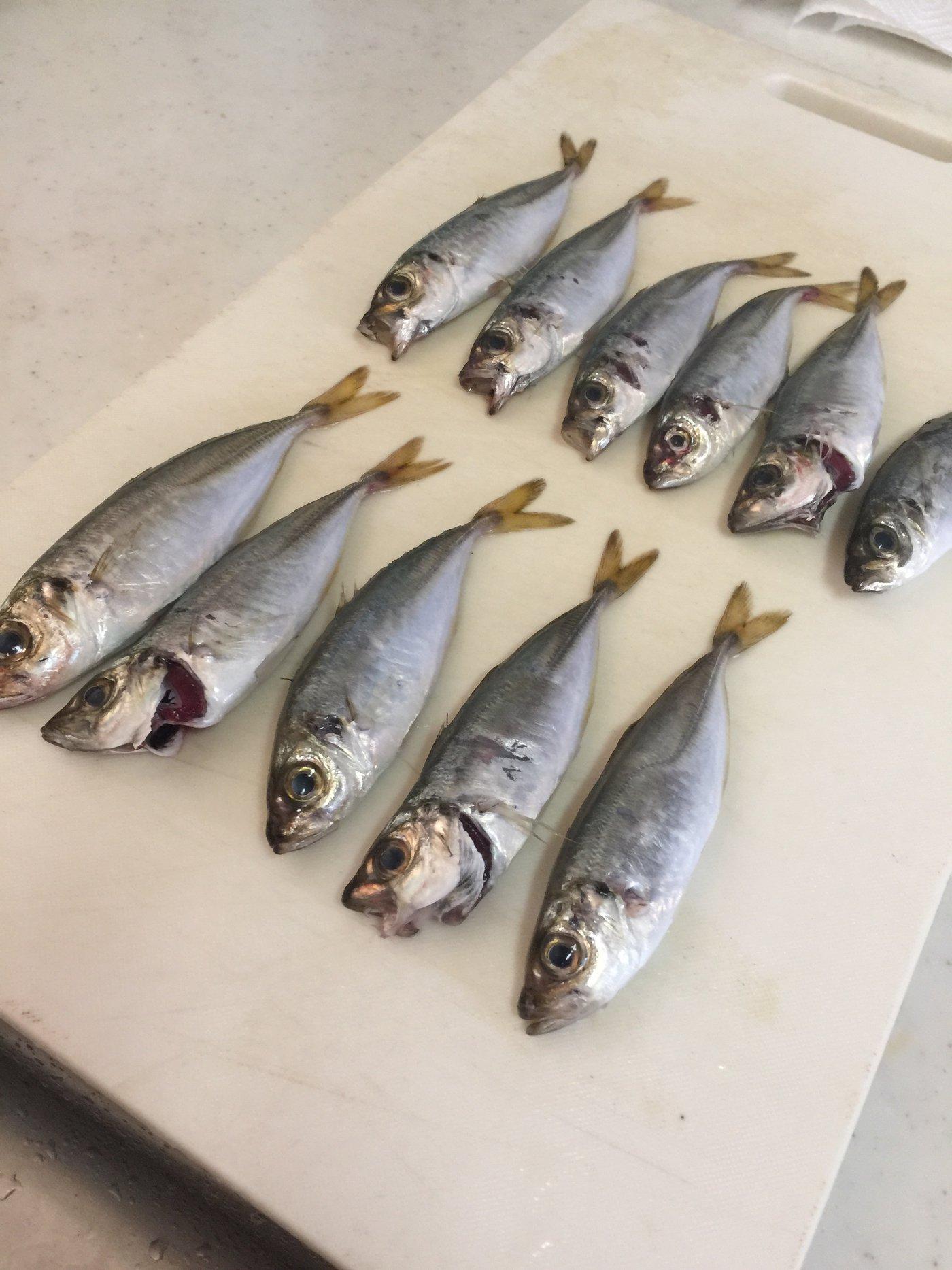 Gajaさんの投稿画像,写っている魚はアジ,