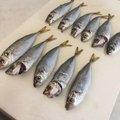 Gajaさんの福井県丹生郡でのアジの釣果写真