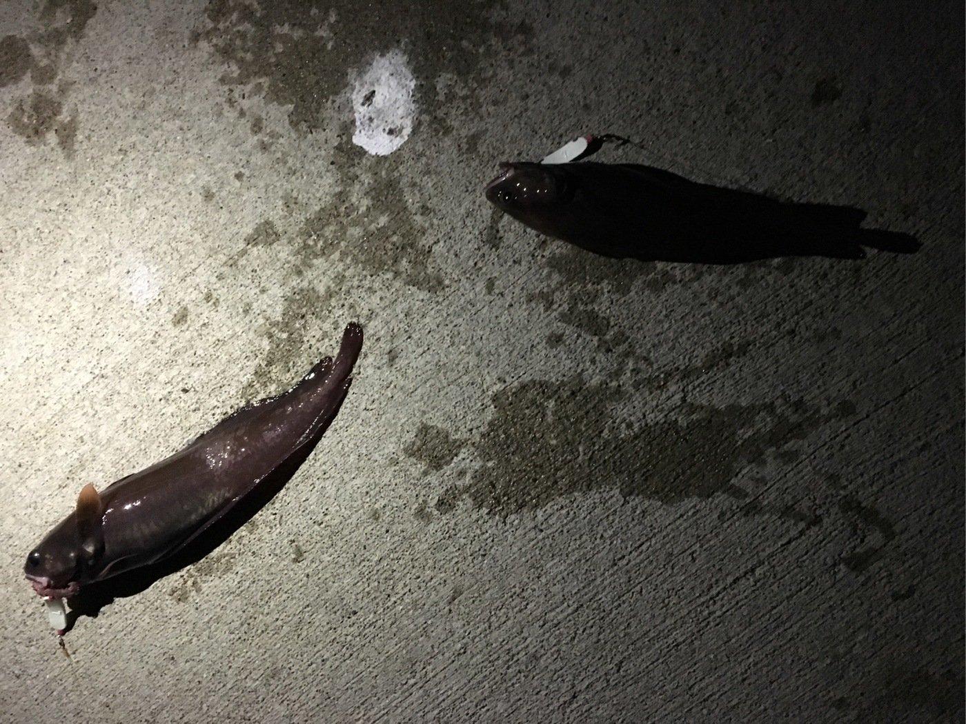 0138STYLEさんの投稿画像,写っている魚はエゾイソアイナメ