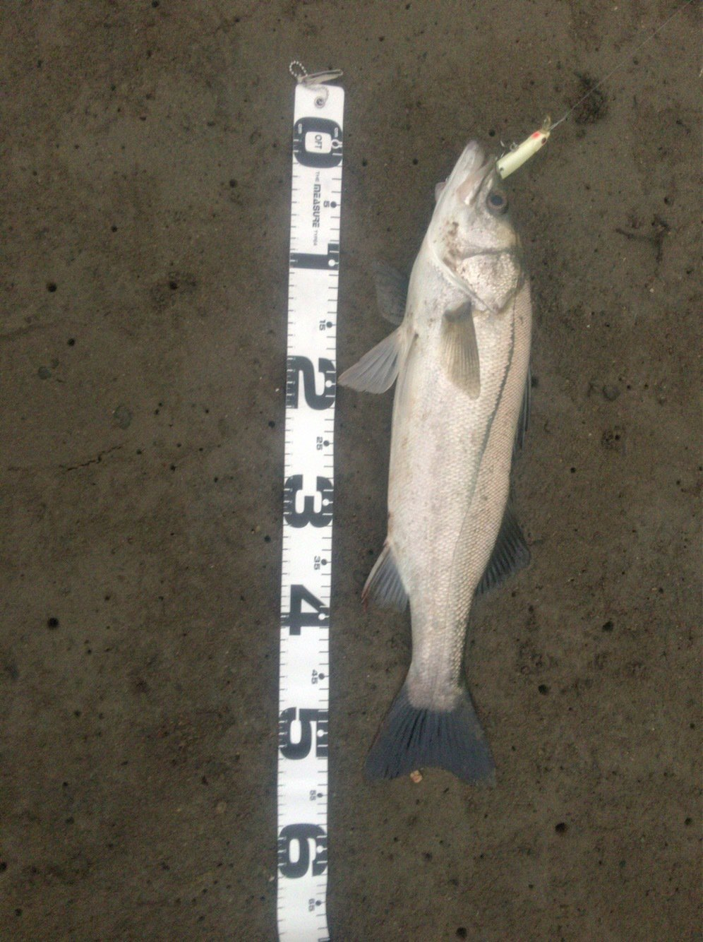 パスタさんの投稿画像,写っている魚はスズキ