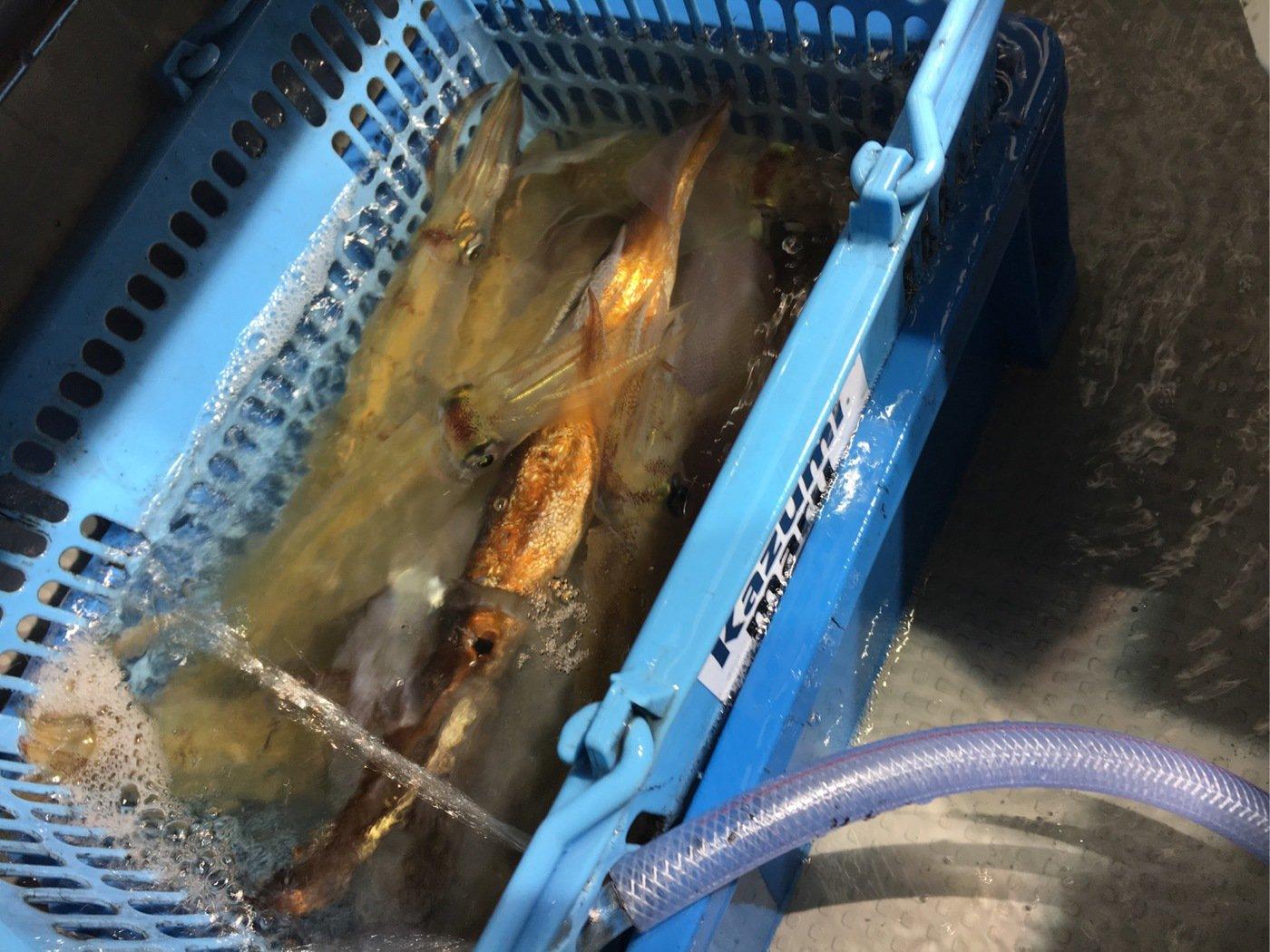 筆頭さんの投稿画像,写っている魚はケンサキイカ