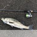 かつてのバスプロさんの千葉県南房総市でのスズキの釣果写真