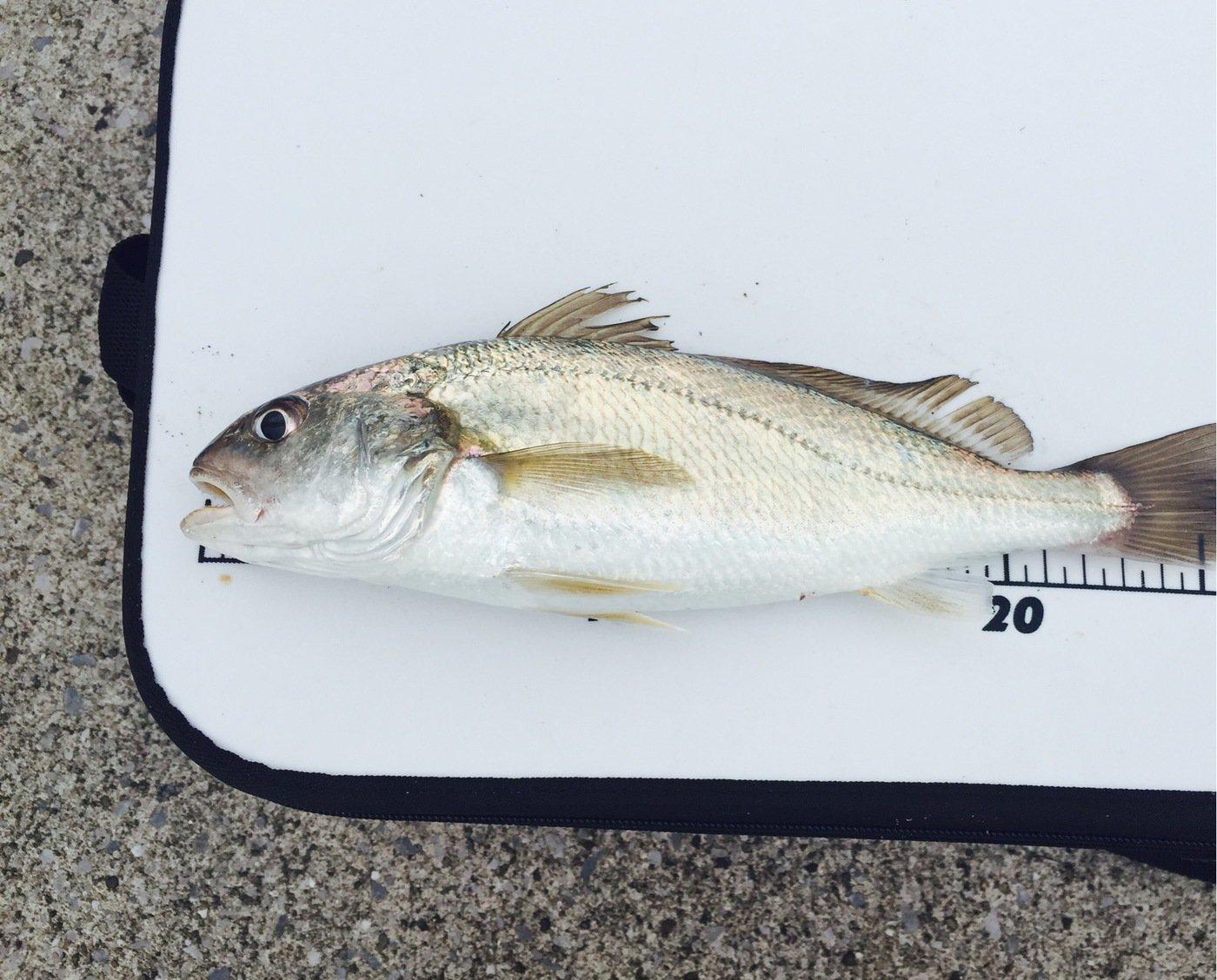 .Kさんの投稿画像,写っている魚はイシモチ