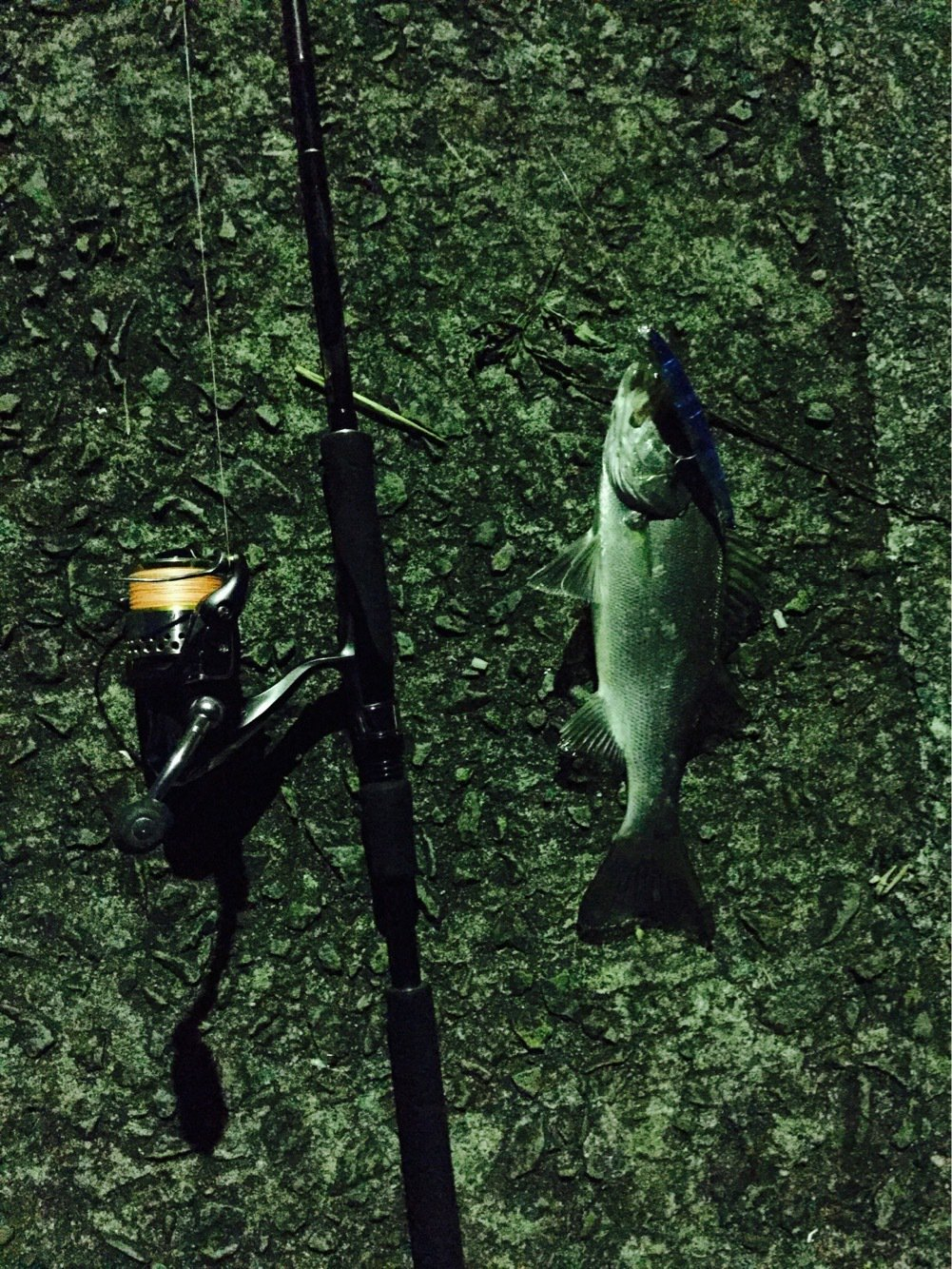 せいしょうさんの投稿画像,写っている魚はスズキ