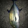f11236さんの鹿児島県鹿児島郡での釣果写真