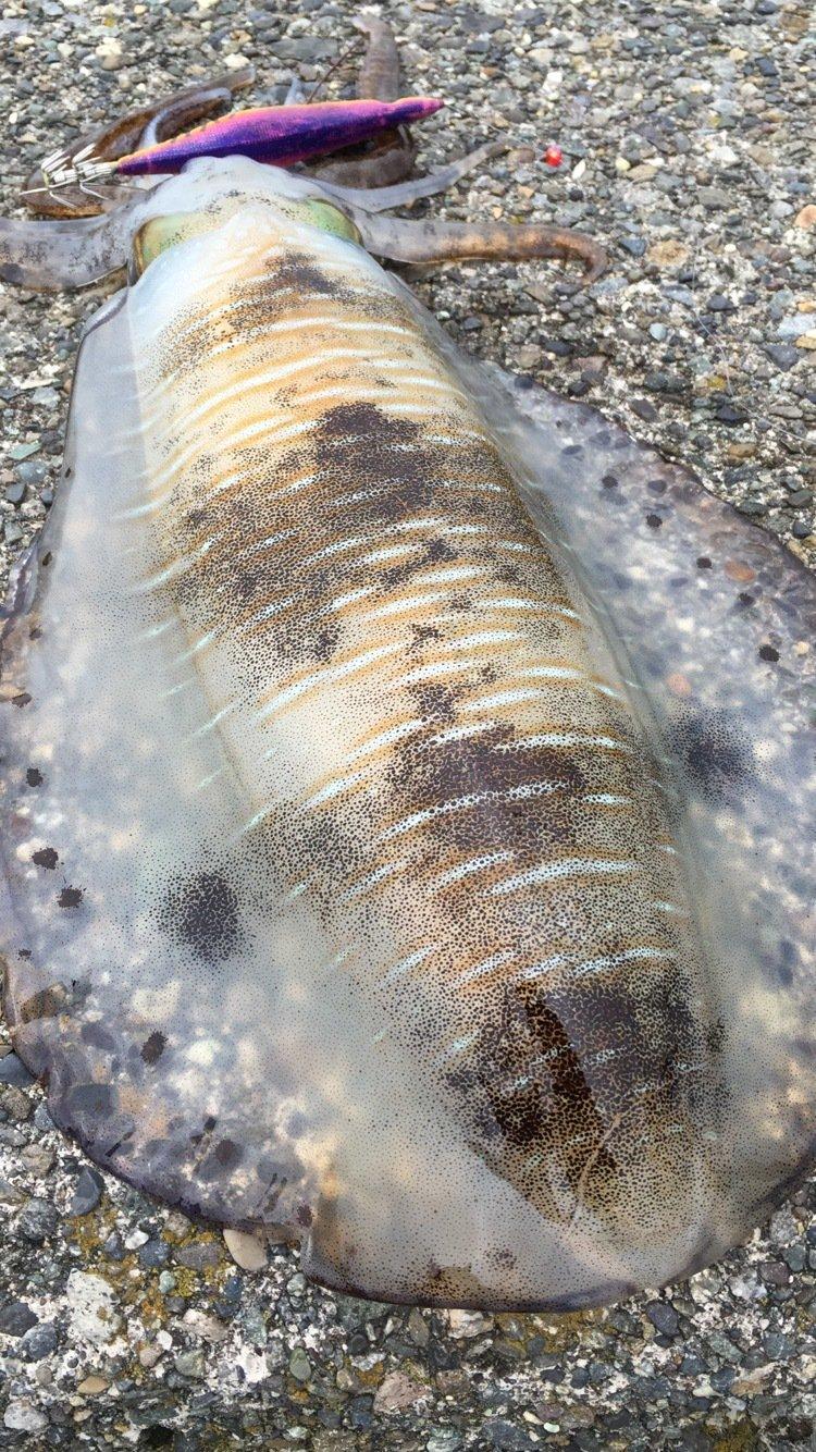 ニュー名人さんの投稿画像,写っている魚はアオリイカ