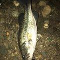 月夜さんの秋田県大仙市での釣果写真