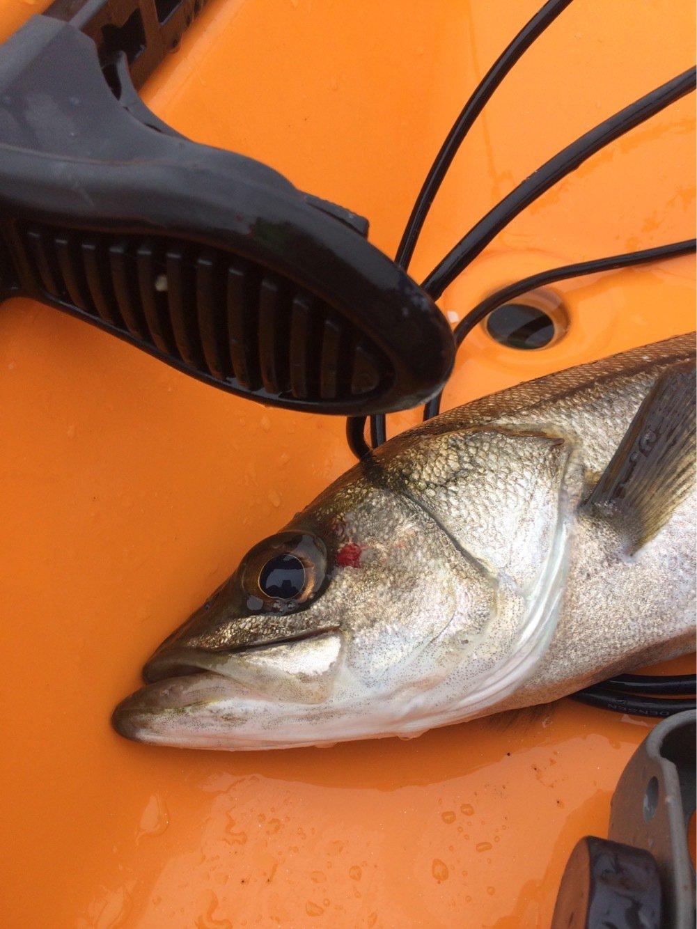 内野坊さんの投稿画像,写っている魚はスズキ