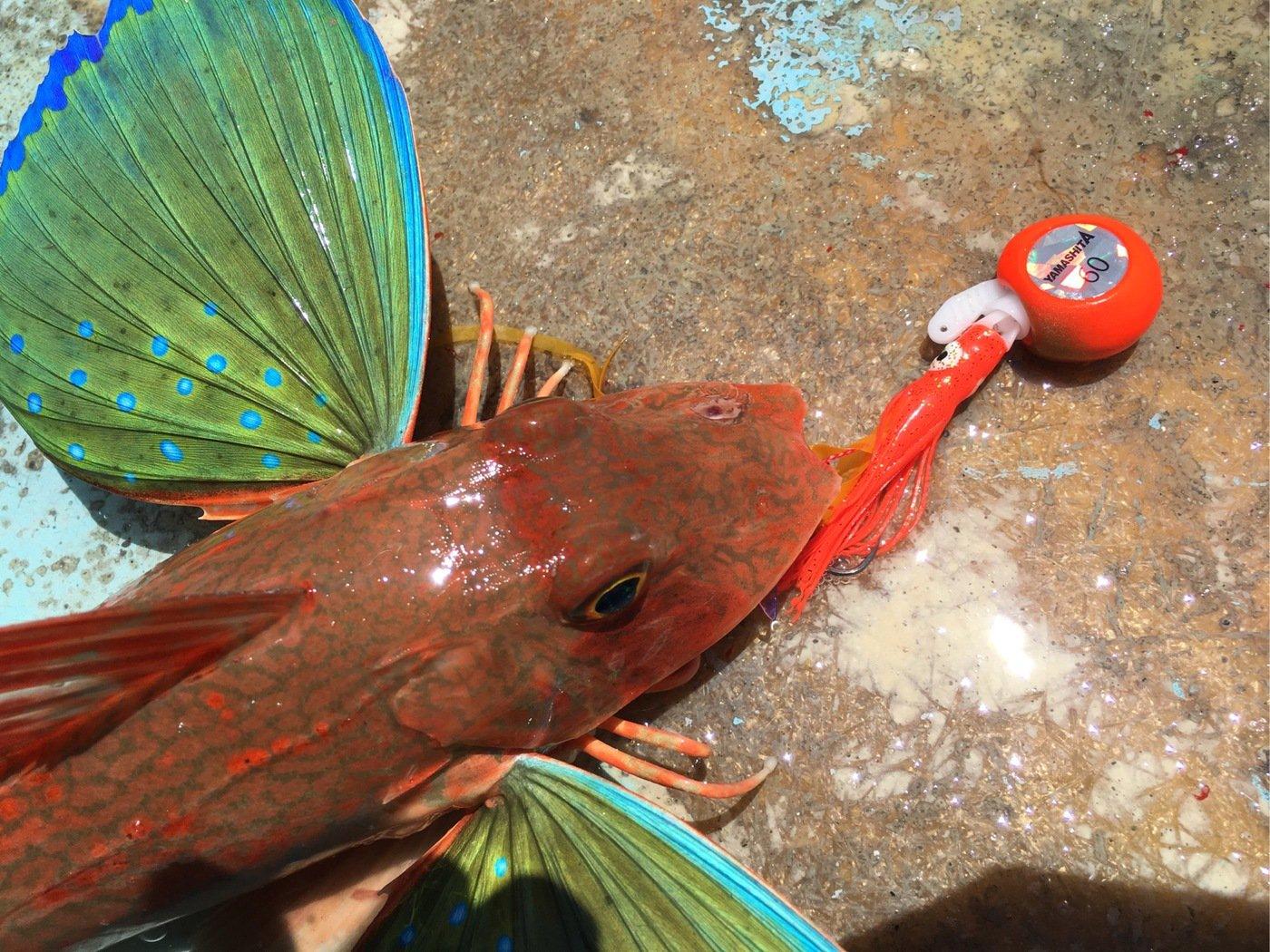 ひょーどるさんの投稿画像,写っている魚はホウボウ