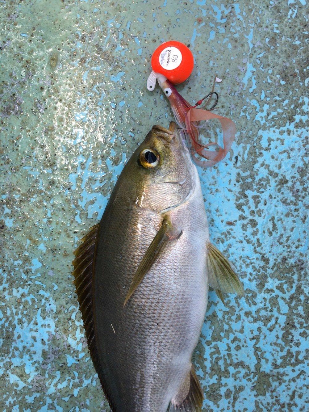 ひょーどるさんの投稿画像,写っている魚はイサキ