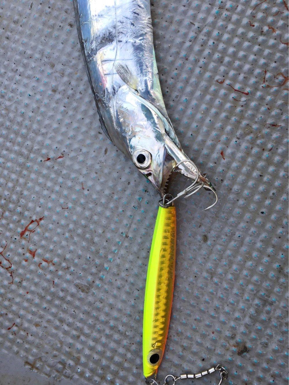 ひょーどるさんの投稿画像,写っている魚はタチウオ