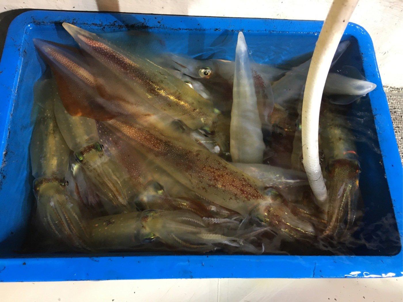 ひょーどるさんの投稿画像,写っている魚はケンサキイカ