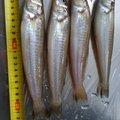 とりのさんの福岡県糸島市でのシロギスの釣果写真