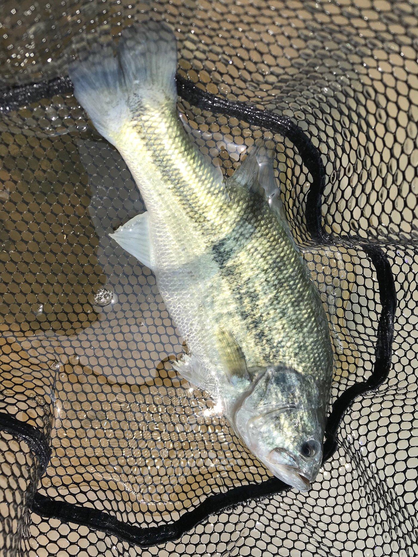 Minamisawaさんの投稿画像,写っている魚はブラックバス